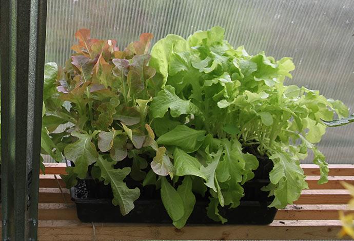 Rød og grøn egebladet salat og lidt May King.