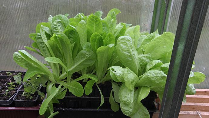 Første hold salat sået 2. september. Planterne er blevet alt for store.