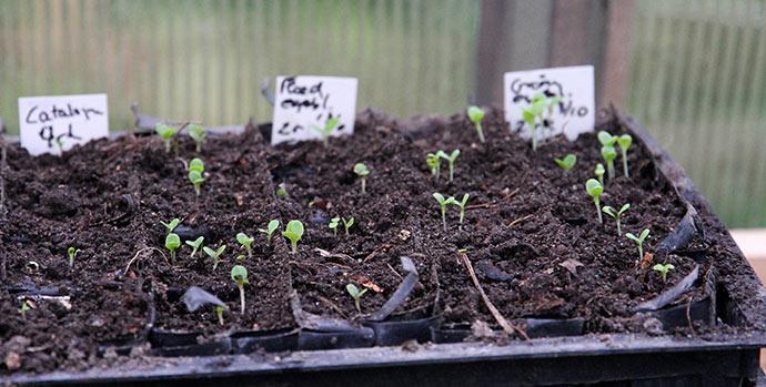3. hold salat sået 13. oktober. Her er det rootraineren med egebladet salat. Hovedsalaten er først ved at komme op i den anden rootrainer.