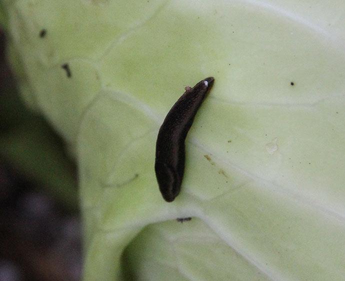 En af de små mørke agersnegle inde mellem bladene i selv kålhovedet.
