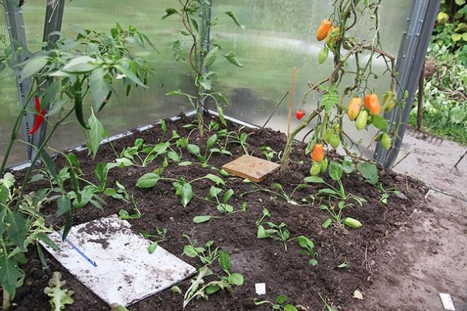 Så er der plantet spinat ud. Mon ikke jeg kan plukke lidt blade om nogle uger?