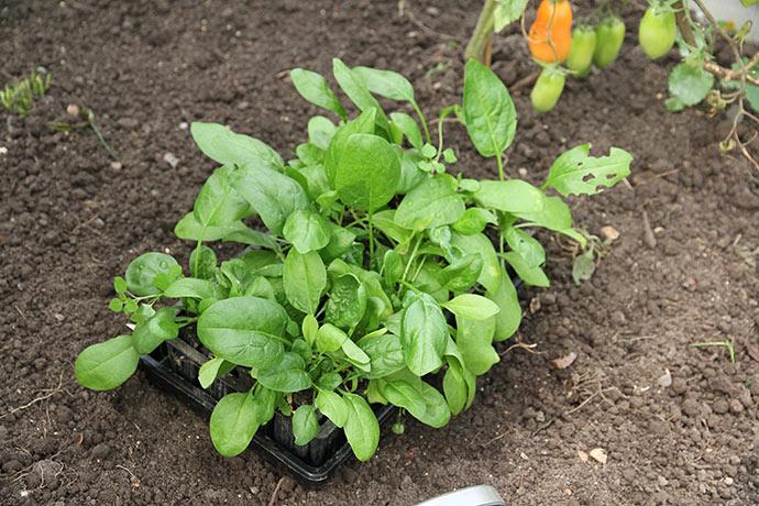Spinatplanter klar til udplantning.