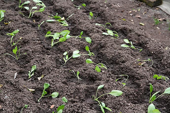 Fire rækker spinatplanter. Håber de overvintrer og giver masser af spinat.