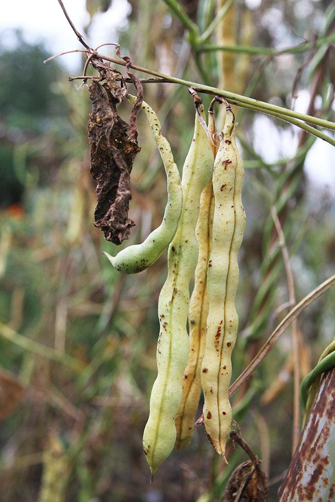 De umodne bønnefrø skal høstes, når hælgene gulner og bliver bløde.