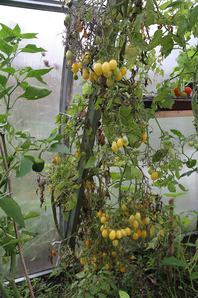 Dattelwein bliver ved med at modne masser af tomater.