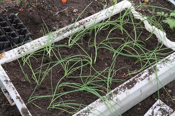 Længst væk i kassen er løgene plantet enkeltvis, resten i blokke på ca. 3 planter.