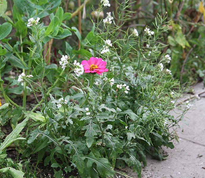 Wasabirukola med hvide blomster og mange frø på vej. Og så lige en pink frøkenhat.