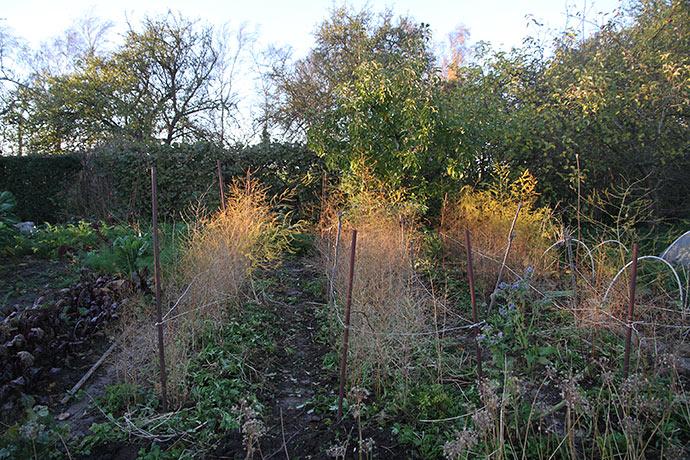 Aspargesbedene er lugede og med let jorddække.