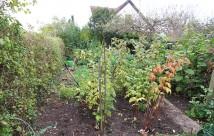 Der har stået en række hindbær mere ind mod hækken. De er nu flyttet til bedet i højre side af billedet.