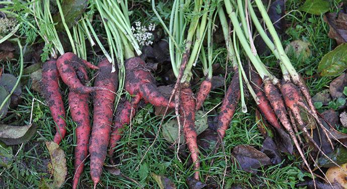5 gulerødder og 10 stokløbere er resultatet af min dyrkning af Red Samurai.
