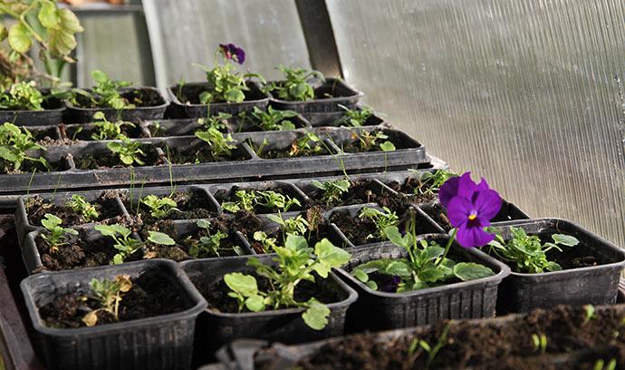 Små hornviolplanter vokser stadig lidt.