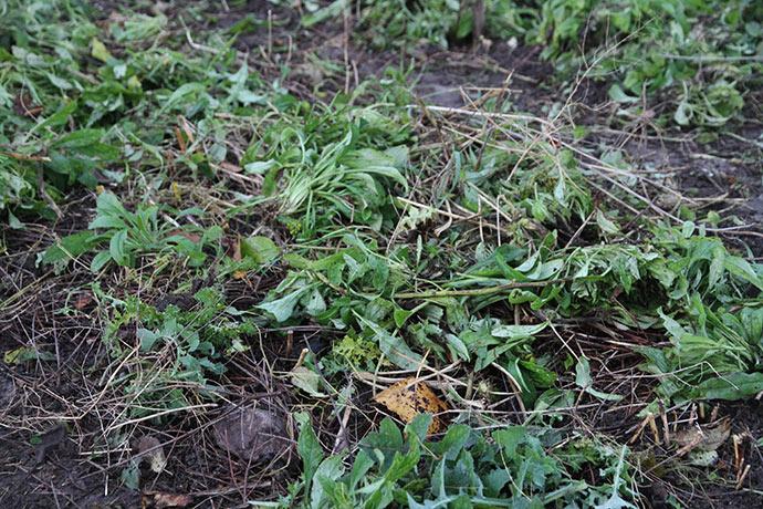 Jorddække i aspargesbedet med forglemmigej-grønt.