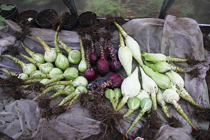 Alle de høstede kål lagt med hovedet ned i udgravningen og rødderne udad.