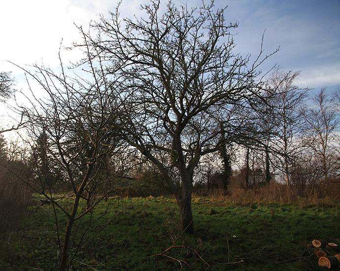 Det store og lille æbletræ er blevet fredet og skal blive stående.
