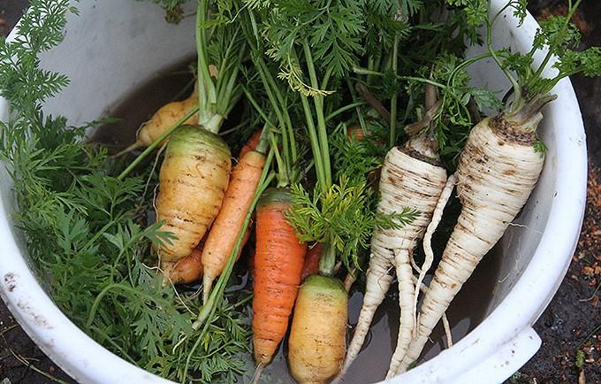 Det er dejligt at gå ud og hente et par håndfulde gulerødder og persillerødder.