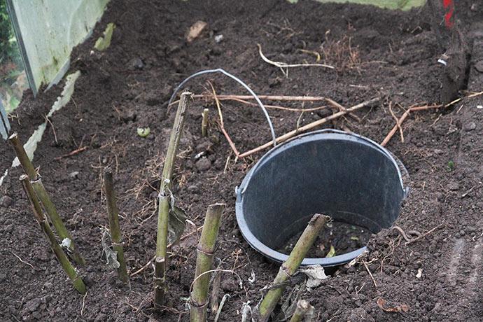 Mine georginer er også gravet ned og i den tomme spand vil jeg prøve at vinteropbevarer oka.