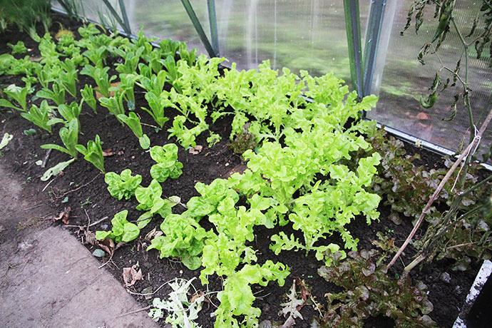 Fire sorter af salat til overvintring: Fra venstre rød egebladet, grøn egebladet, Little Gem og Valdor.
