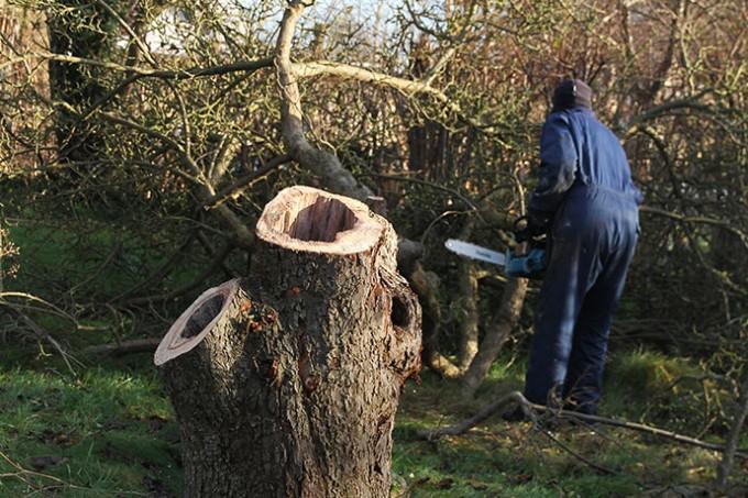 Belle de Booskop træets stamme og grene var helt hule