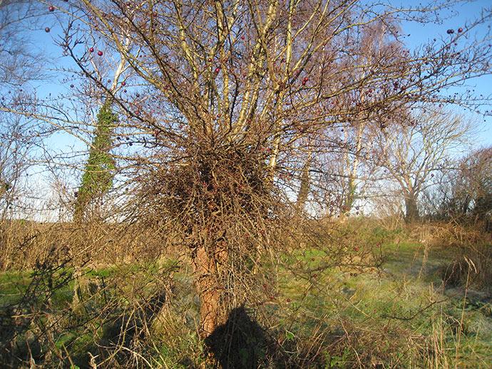 Det var verdens grimmeste træ, mente Sigismund. Det gik vi så i gang med at fælde.