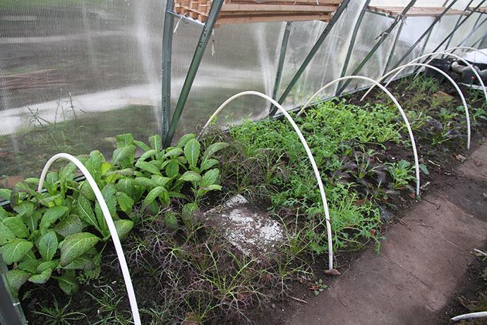 De asiatiske bladgrønsager står rigtig fint i den milde vinter.