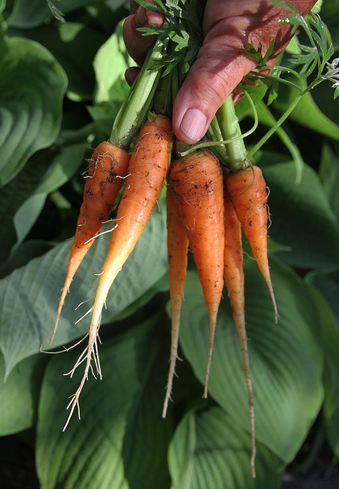 De første nye gulerødder fra drivtunnelen 28. maj sidste år-