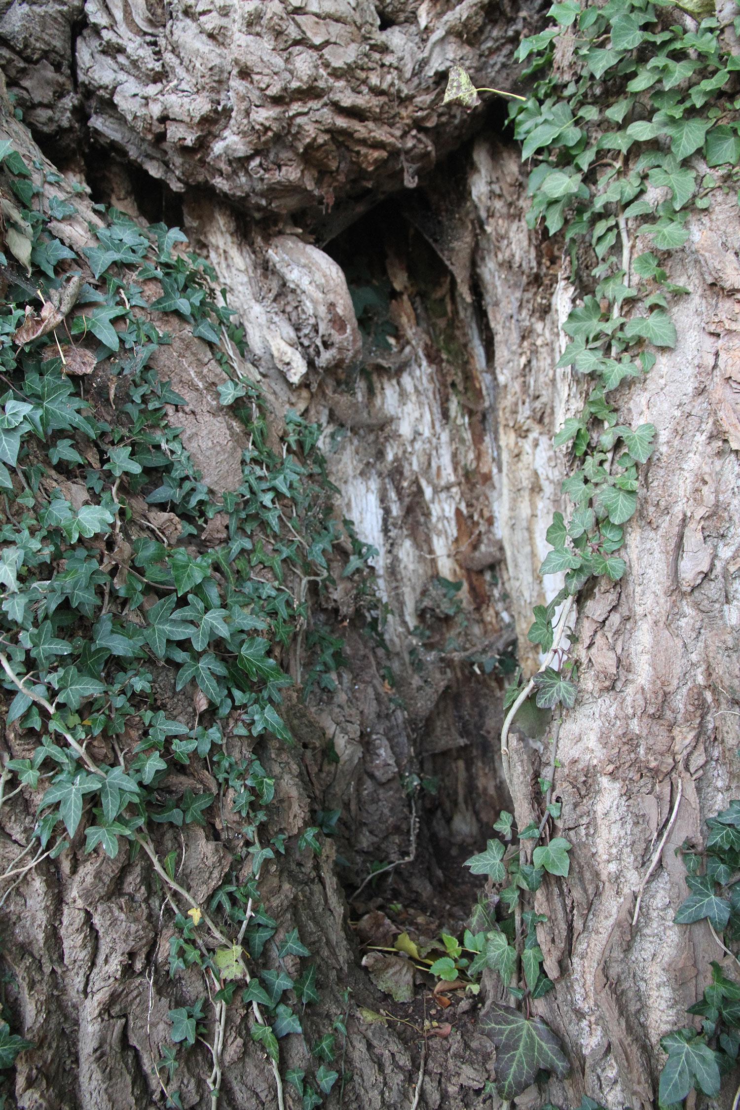 Det gamle træ er helt hul indeni.