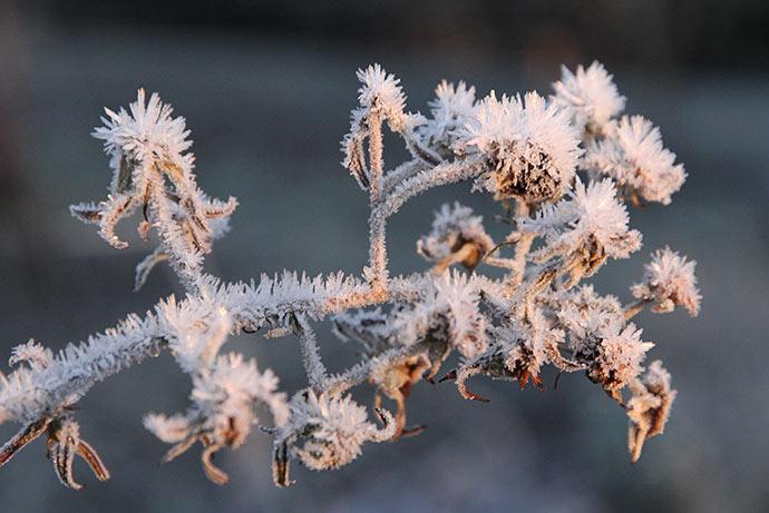 Brombærespalieret er altid meget fint med rim. I år er alle brombær nået at modne.