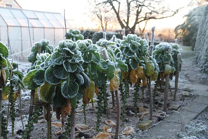 Rosenkålene hænger med bladene i frostvejret og beskytter de små grønne hoveder.