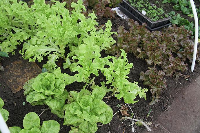 Fine salatplanter, som vi godt kan begynde at tage lidt blade fra.