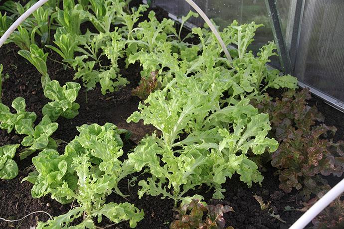 Flere slags salat. Den røde og den grønne egebladede var sidste år de planter, som gav først salat.