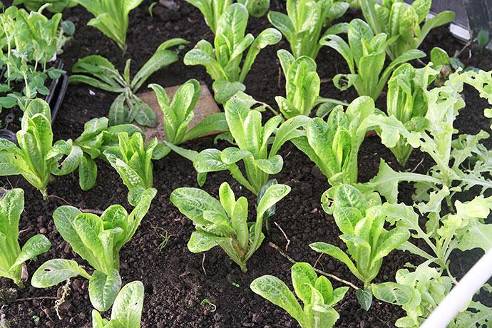 Little Gem vokser ikke meget her om vinteren, men overlever den, bliver der mange dejlige salathoveder her i marts.