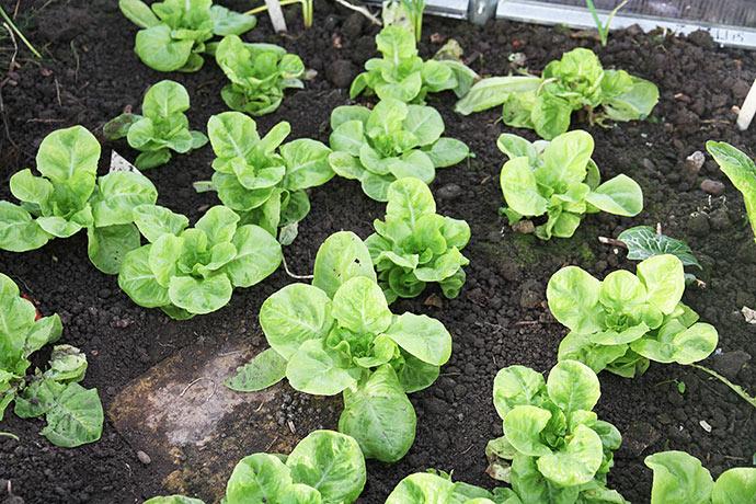 Ny salatsort i år er Valdor, som skulle være speciel god til overvintring. Den vokser faktisk.