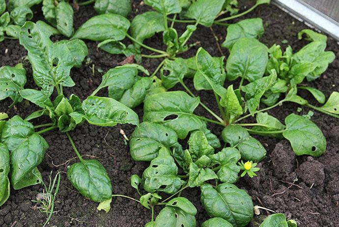 Hvornår mon vi kan begynde at høste små nye blade?