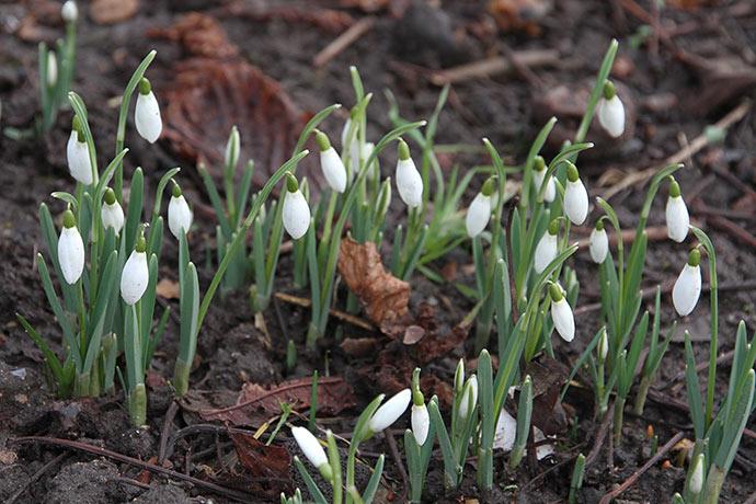 Vintergækkerne blomstrer allerede.