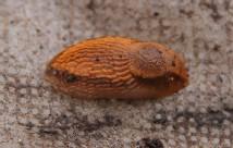 Dræbersnegl fundet i dag under et stykke fibernet.