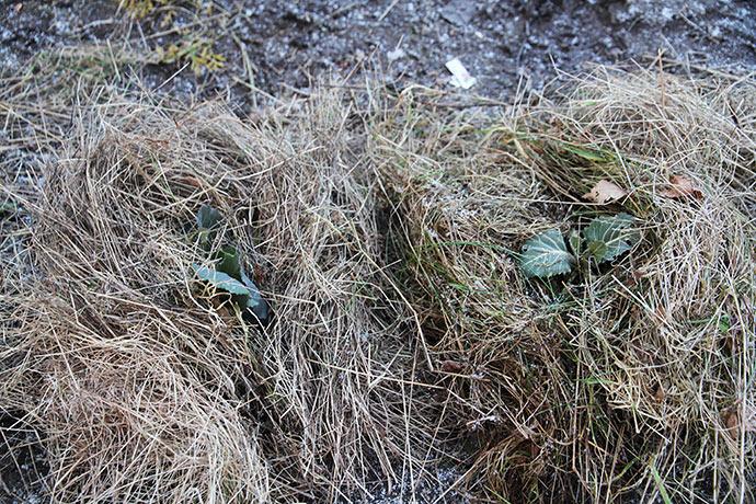 Kålplanterne er blevet beskyttet mod den hårde og isnende kolde blæst