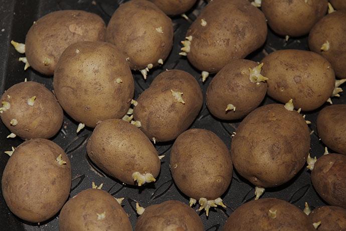 Spirerne er fint på vej - jeg regner med at komme de først i kartoffelpotter om en uges tid