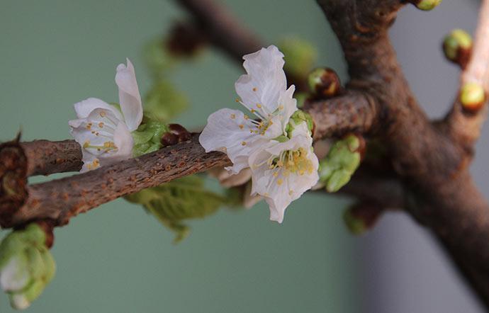 De første udsprungne kirsebærblomster.