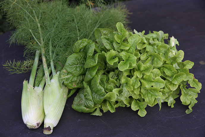 Knoldfennikel og salatblade af grøn egebladet og Little Gem.