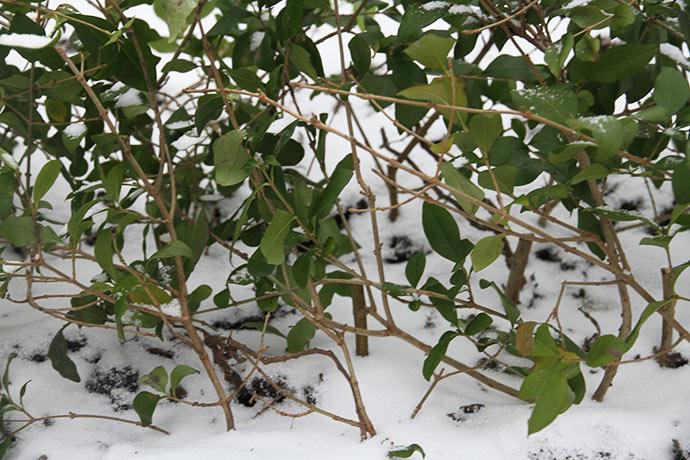 De træagtige stiklinger står inden under kvistene med blade på. De er 20 cm lange og stikker ca. 1/3 op. Jeg har trådt jorden til omkring dem.