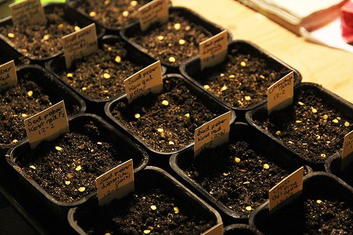 Såning af flere sorter af sød peber.