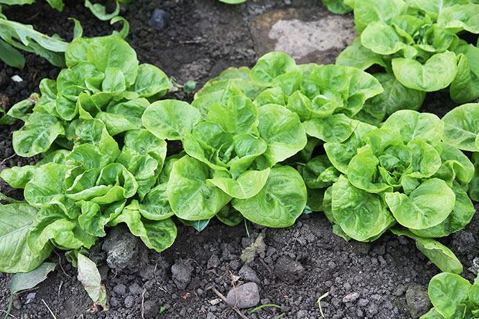 Jorden midt i drivtunnelen er ved at være ret tør. Her er det salatsorten Valdor.