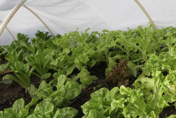 Salaten står stadig helt upåvirket af kulden udenfor. Jorden er lun efter dagens solskin og varmer op om natten.