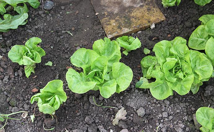 Store salatplanter med aloe blade bed side af små, hvor alle de store blade er høstede.