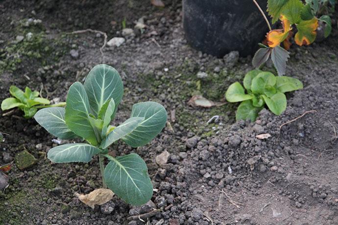 I drivhuset er jorden også tør, og spidskålene og salaterne har brug for vand.