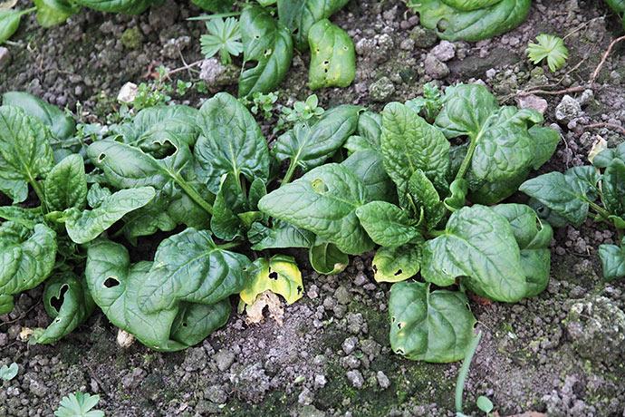 Spinaten vokser nu, og her er jo ved at være ret tør.