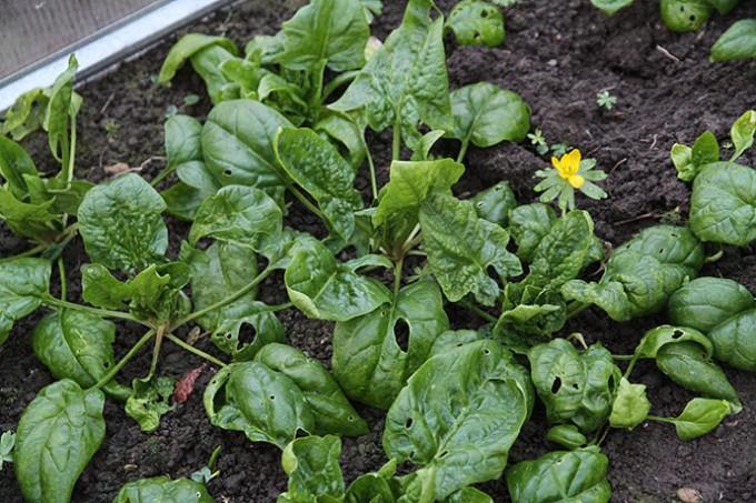 Spinatplanterne har fået en gpd gang vand.