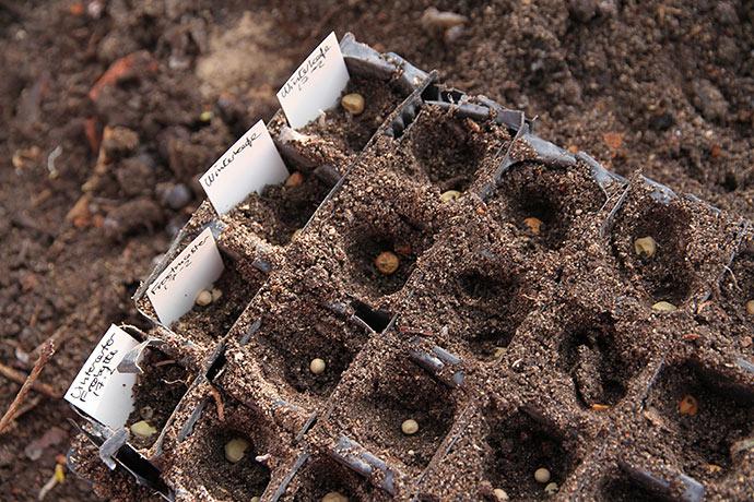 Såning af vinterærter i rootrainer 17. februar