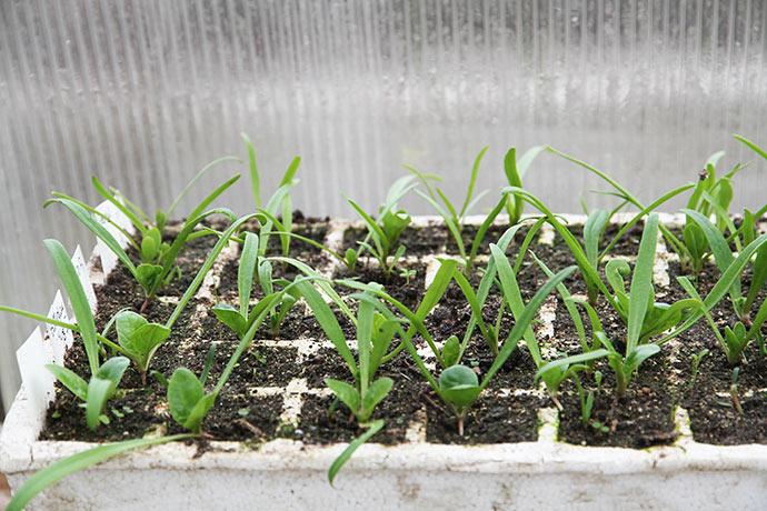 Spinatplanterne klarer sig rigtig fint.