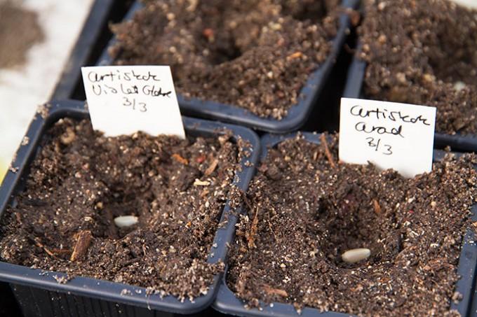 De tåler ikke for fugtig jord, så der er lidt mere grus i såjorden end til tomater.